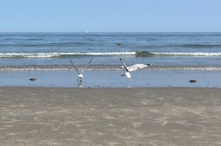 The Gulls of Summer 2